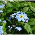 #kwiaty #niezapominajki #ogród
