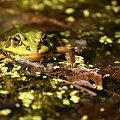 Uśmiech proszę:) #żaba #żaby #staw #woda #ropucha