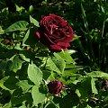 Tuskany #kwiaty #ogródek #peonie #róże