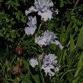 #kwiaty #ogródek #peonie #róże