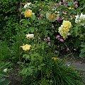 Graham Thomas #kwiaty #odród #róże