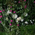 Lion Rose #kwiaty #odród #róże