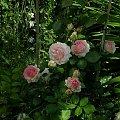 Pierre Ronsard #kwiaty #ogród #róże