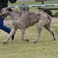 wilczarz BEHEMOT Dolina Nirvany #hodowla #WilczarzIrlandzki