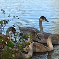 Pisklęta #Przyroda #ptaki #łabędzie
