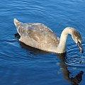 Pisklę #ptaki #łabędzie #przyroda #zwierzęta