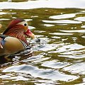 Z bułką w dziobie #kaczki #przyroda