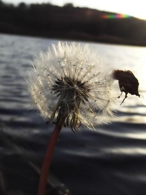 Dmuchawce, latawce, wiatr...