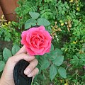 #róża #różowa