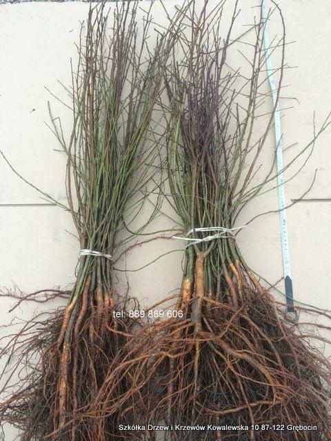 Sprzedawane sadzonki wiązki po 25 szt wysokość 80-100cm <b>grube</b> pędy