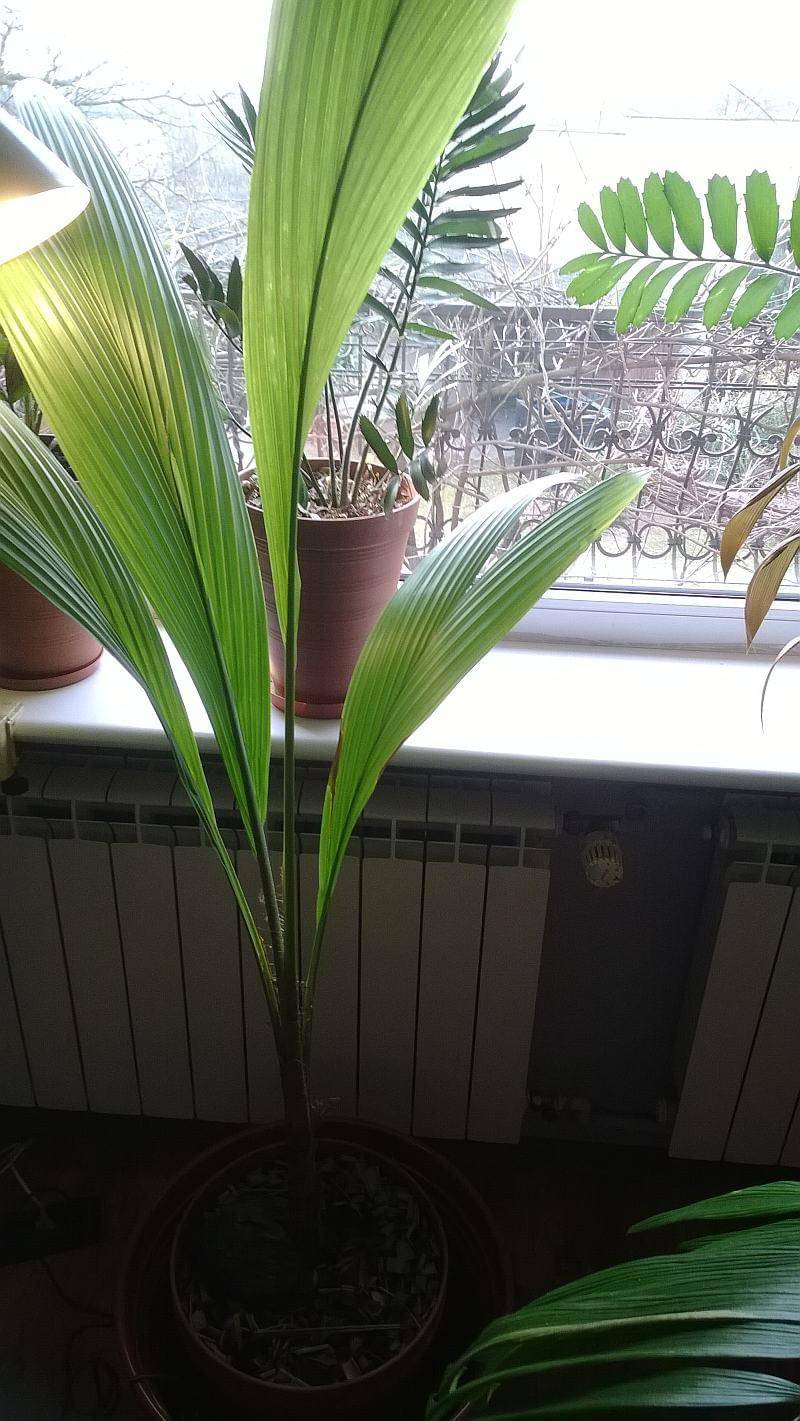 Le forum des fous de palmiers cocos nucifera cocotier - Palmier cocotier ...