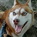 Pogodny portrecik siberian husky #pies #dog