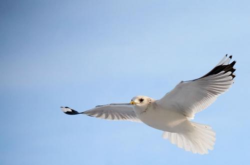 z dedykacją dla Goochass #mewa #ptaki #lot
