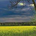 ...jak gniewne spojrzenie znad flagi Ukrainy - takie skojarzenia w pięknym okresie kwitnienia... #rzepak #łan #kwiaty #kwitnienie