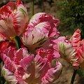 #tulipany #tulipan #TulipanyPapuzie