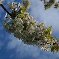 kwiaty 2014 #KwiatCzereśni #KwitnącaCzereśnia #czereśnia