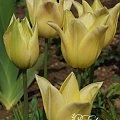 kwiaty maj #tulipan #tulipany #TulipanElegantLady #ElegantLady