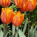 kwiaty maj #tulipany #tulipan