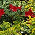 kwiaty maj #trzmielina #różanecznik #rhododendron