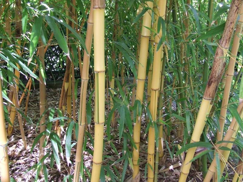 zobacz w tek bambus uprawa wymagania piel gnacja. Black Bedroom Furniture Sets. Home Design Ideas